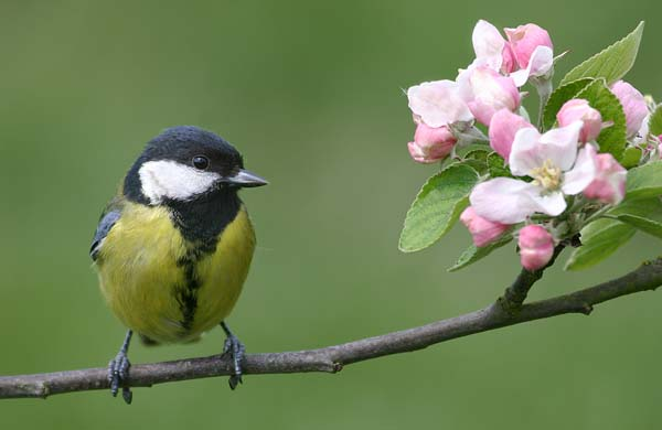 Great tit Jill Pakenham.jpg